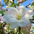 Apple Blossom Orchard by Barbara St Jean