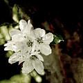 Apple Blossom Paper by Sharon Popek