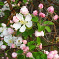 Apple Blossom Pink by Peggy King
