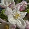 Apple Blossom Rain by Barbara St Jean