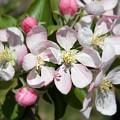 Apple Blossom Time by Anita Faye