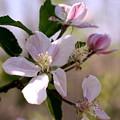 Apple Blossom Time by Diane Merkle