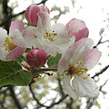 Apple Blossoms - Wild Apple by Angie Rea