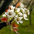 Apple Blossoms by Albert Seger