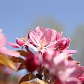 Apple Blossoms by Aliza Anderson