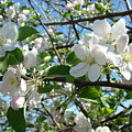Apple Blossoms Art Prints 60 Spring Apple Tree Blossoms Blue Sky Landscape by Baslee Troutman