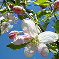 Apple Blossoms Art Prints Blue Sky Spring Baslee Troutman by Baslee Troutman