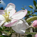 Apple Blossoms Art Prints Canvas Blue Sky Pink White Blossoms by Baslee Troutman