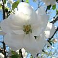 Apple Blossoms Art Prints Canvas Spring Tree Blossom Baslee Troutman by Baslee Troutman