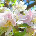 Apple Blossoms Art Prints Spring Trees Baslee Troutman by Baslee Troutman