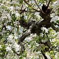 Apple Blossoms by Carol Groenen
