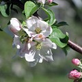 Apple Blossoms by Donna King