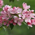 Apple Blossoms by Doris Potter