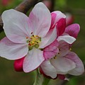 Apple Blossoms by Kathryn Meyer