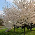 Apple Blossoms by Kristin Elmquist