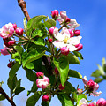 Apple Blossoms by Malcolm Howard
