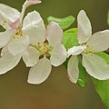 Apple Blossoms by Michael Peychich