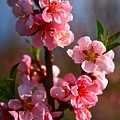 Apple Blossoms by Robert Pearson