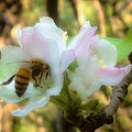 Apple Blossoms With Honey Bee by Debra Lynch
