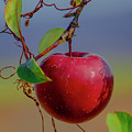 Apple On A Tree by Janet Argenta