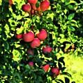 Apple Orchard 1 by John Feiser