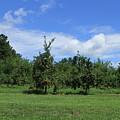 Apple Orchard At Vineyard by Karen Ruhl