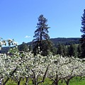 Apple Orchard In Bloom by Will Borden