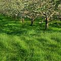 Apple Orchard by Sandra Cunningham