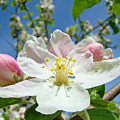 Apple Tree Blossom Art Prints Springtime Nature Baslee Troutman by Baslee Troutman