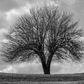 Apple Tree Bw by Stephanie Hanson
