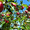 Apple Tree by Cristina Stefan