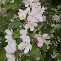 Apple Tree In Bloom by Tammy Finnegan