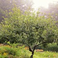 Apple Tree In The Garden by MTBobbins Photography