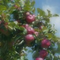 Apples And Sky by Smilin Eyes  Treasures