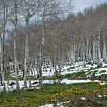 Approaching Spring In The Aspen Forest by Cascade Colors