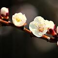 Apricot Flowers by Joan Han