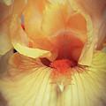 Apricot Iris by Caryl J Bohn