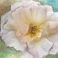 Apricot Nectar Rose by Ryn Shell