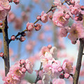 Apricot Tree Blossoms by Jessica Jenney
