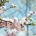 Apricots Bloom by Mariia Kalinichenko