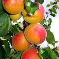 Apricots by Will Borden