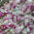April Blossoms by Bill Cannon