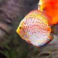 Aquarium Orange Spotted Fish by Arletta Cwalina