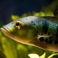 Aquarium Striped Fish Portrait by Arletta Cwalina