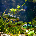 Aquarium Striped Fishes Group by Arletta Cwalina