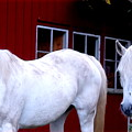 Arab Horses At Home, Behind Their Fence   by Hilde Widerberg