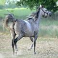 Arab Horse by Jaroslaw Grudzinski