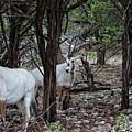 Arabian Oryx V4 by Douglas Barnard