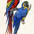 Aracangua And Blue And Yellow Macaw by American School