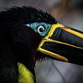 Aracari by Anthony Evans